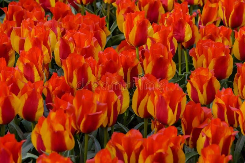 Tulip Kiev Blumenfelder in der Blüte im niederländischen Frühlingsgarten Keukenhof stockfoto
