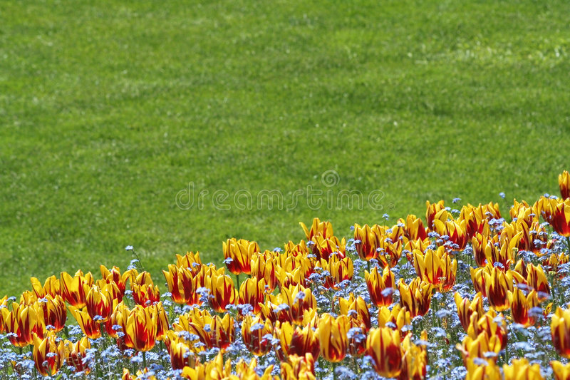 Tulip and lawn royalty free stock photo