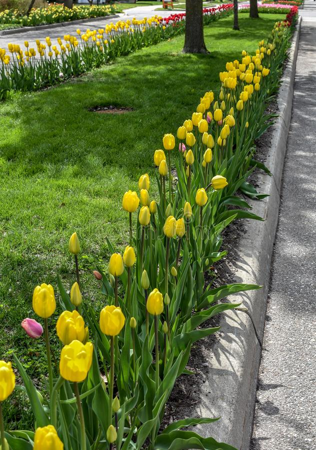 Tulip Lined Washington Boulevard amarela, vermelha e cor-de-rosa, Holanda, Michigan imagem de stock