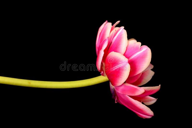 Tulip Macro stock afbeelding
