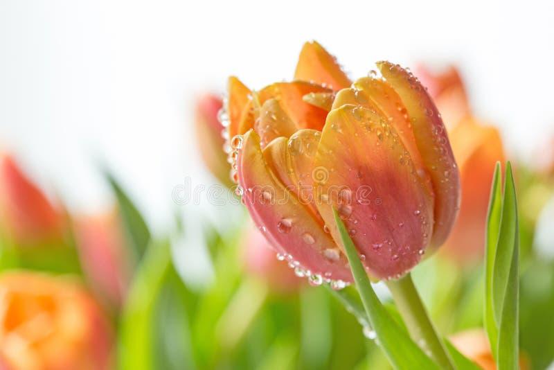 Tulip Macro colorida fotos de stock