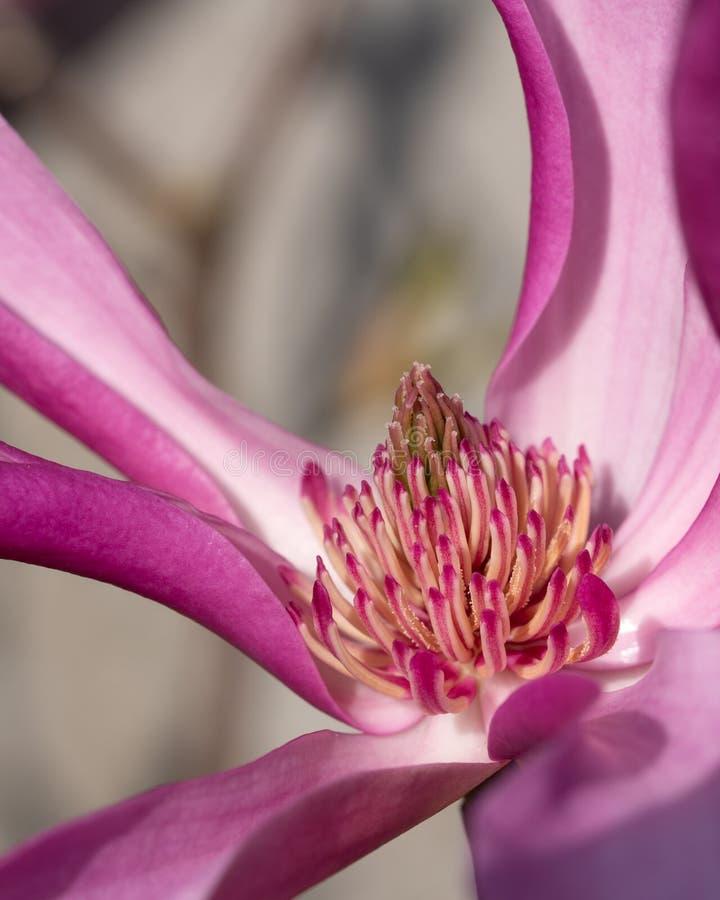 Tulip magnolia, Magnolia liliiflora royalty free stock photography
