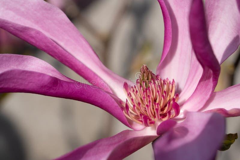 Tulip magnolia, Magnolia liliiflora stock photo