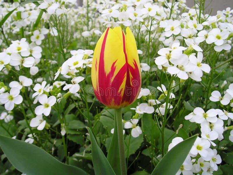 Tulip Micky Mouse royaltyfri fotografi