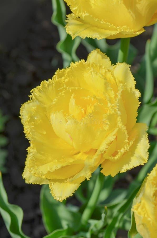 Tulip Mon Amour Dubblett satt fransar på gul tulpan fotografering för bildbyråer