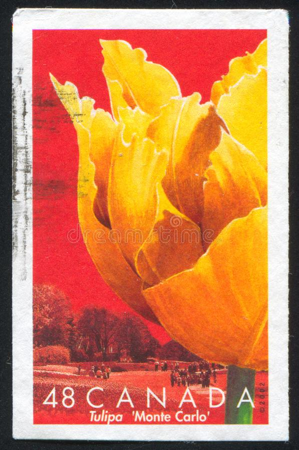 Tulip Monte Carlo arkivbilder