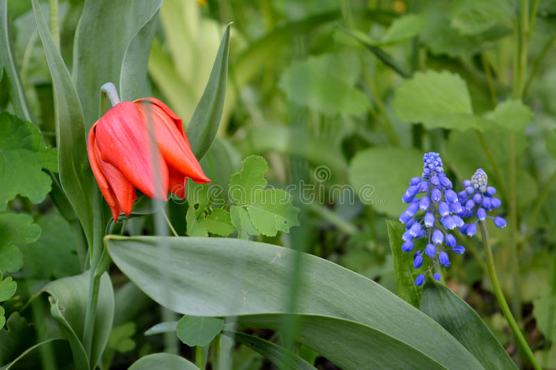 Tulip and muscari. Beautiful flowers in spring garden stock photography