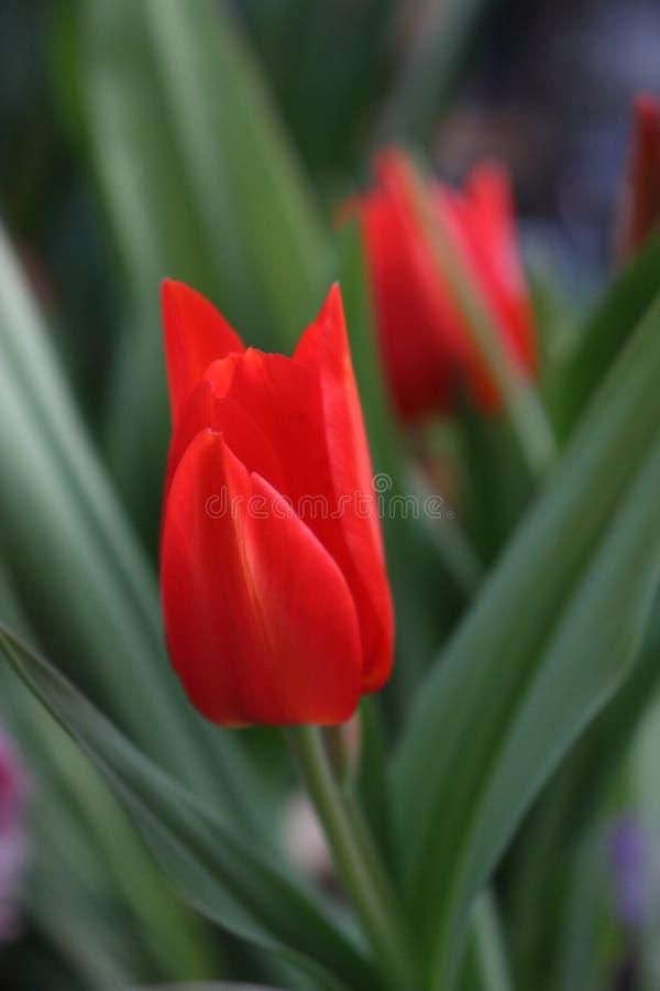 tulip?n rojo con el fondo verde foto de archivo libre de regalías