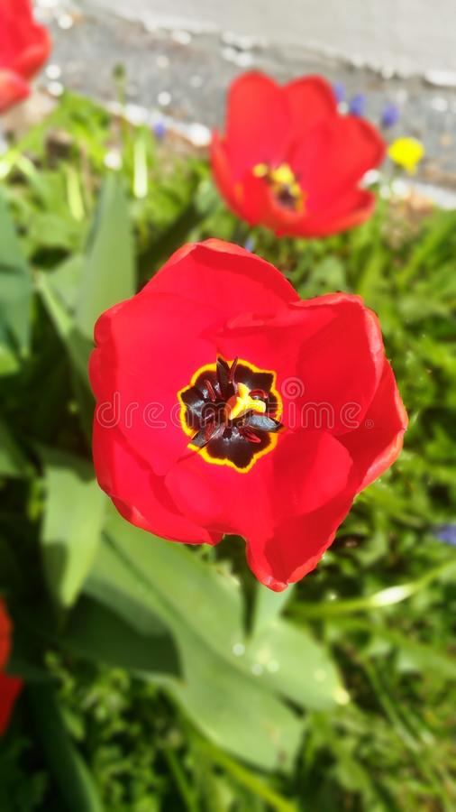 Tulip Tulip is one of the most beloved plants and the third most popular plant. Photo wallpaper Tulip Tulip is one of the most beloved plants and the third most royalty free stock images