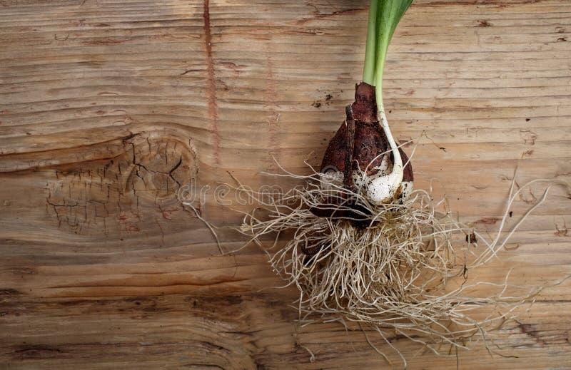Tulip Onion immagine stock