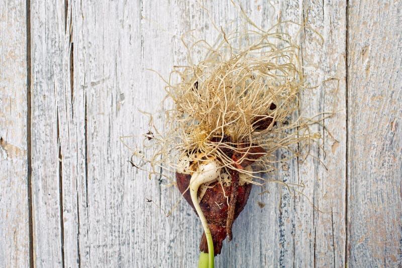 Tulip Onion immagini stock