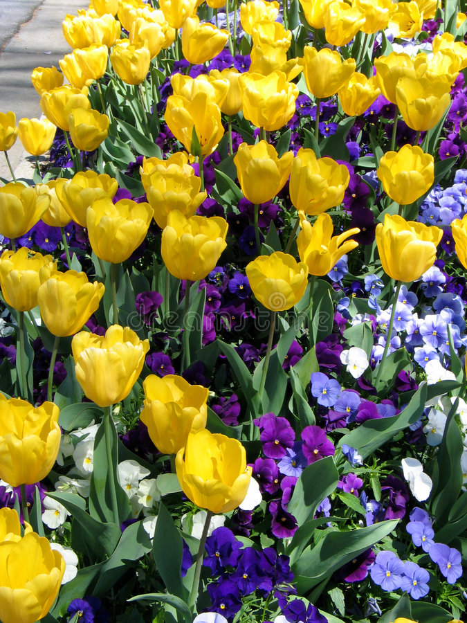 Tulip and Pansy Garden stock photography