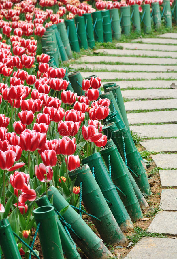 Tulip and path royalty free stock photos