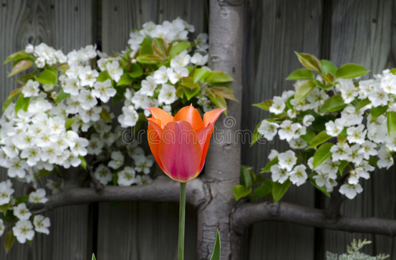 Tulip and pear blossoms. A single tulip, stands between white pear blossoms, growing on a rustic wood fence royalty free stock photos