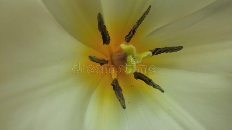 Tulip Perfection royaltyfria bilder