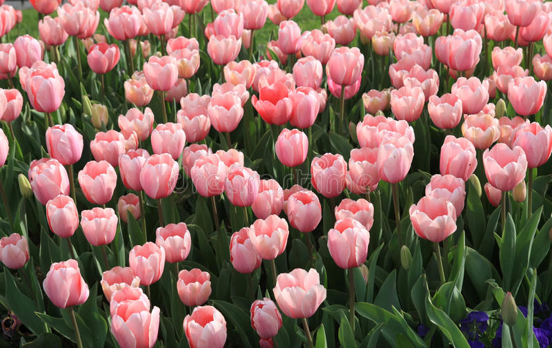 Tulip Period In Istanbul Royalty Free Stock Photography