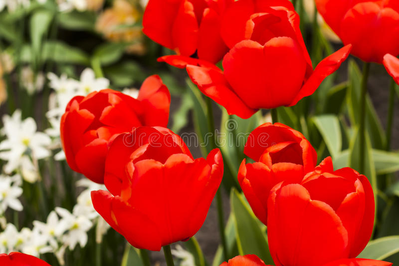 Tulip Plant. The tulip is a perennial, bulbous plant with showy flowers in the genus Tulipa, of which around 75 wild species are currently accepted and which stock photo
