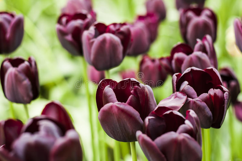 Tulip Plant. The tulip is a perennial, bulbous plant with showy flowers in the genus Tulipa, of which around 75 wild species are currently accepted and which royalty free stock photos