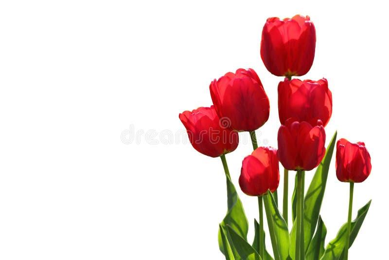 Download Tulip Plants immagine stock. Immagine di possa, sviluppo - 117980511