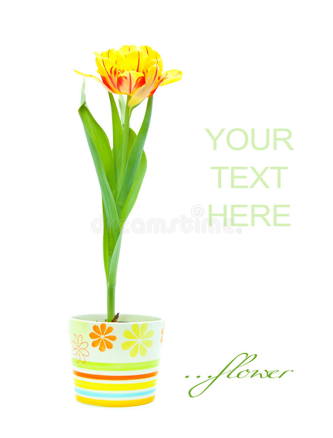 Tulip in pot