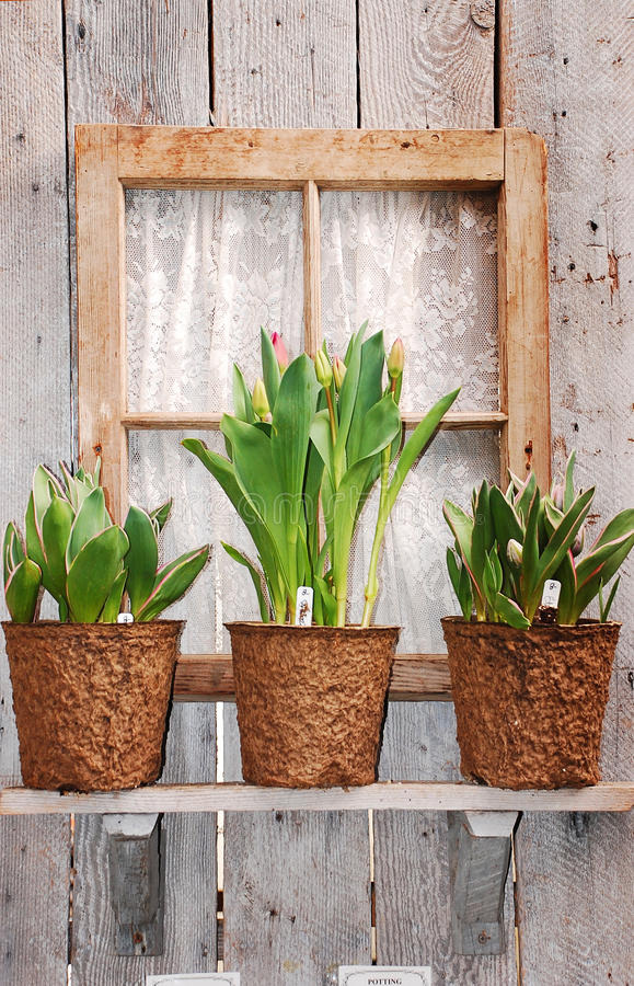 Free Tulip Pots In Window Stock Photography - 19220972