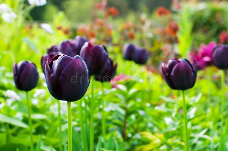 Tulip Queen roxa da noite imagem de stock