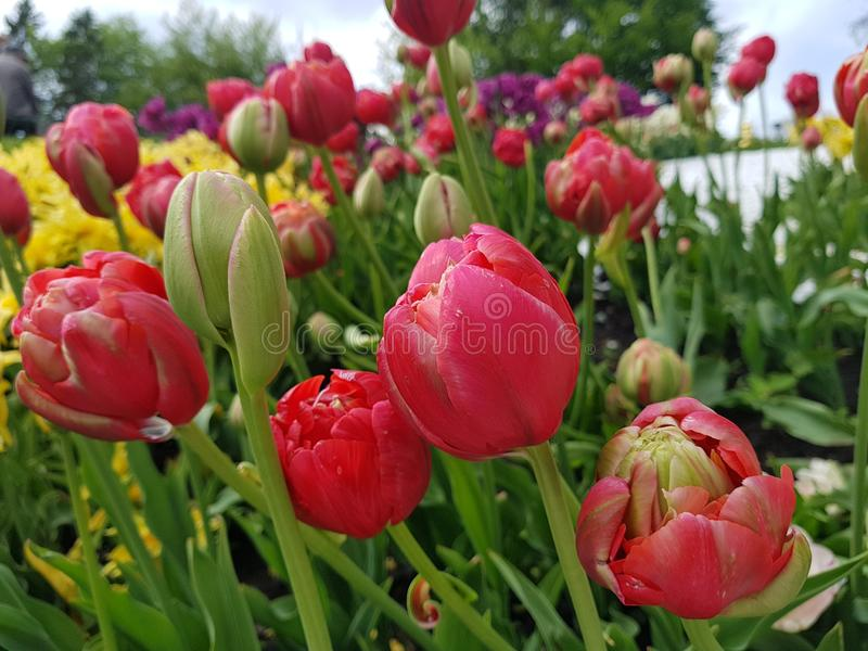 Tulip red. Bloom spring red flowers in the garden. Close-up flowers royalty free stock photo