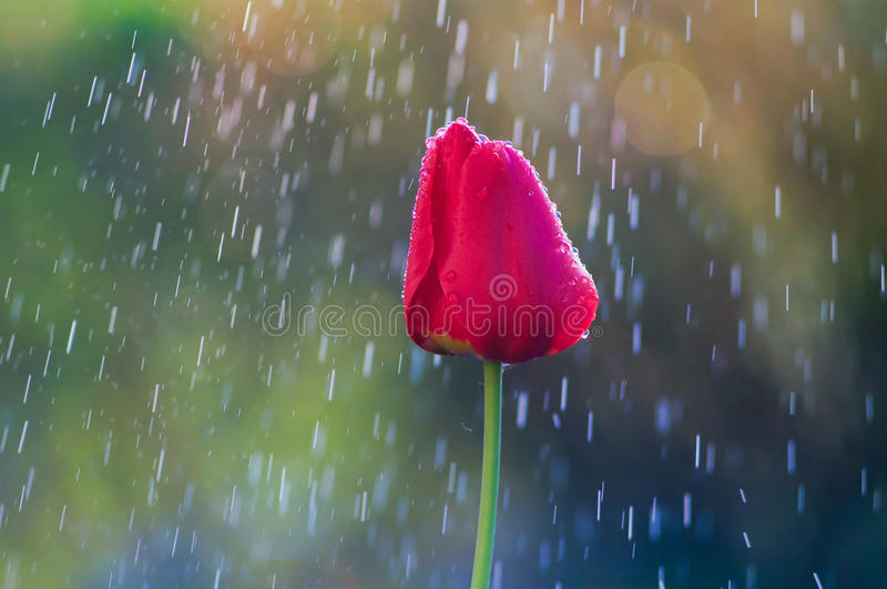 Red tulip in drops of water in the spring rain stock photography
