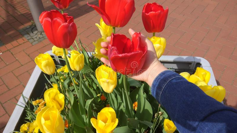 Tulip red and yellow of their color, plant royalty free stock photos