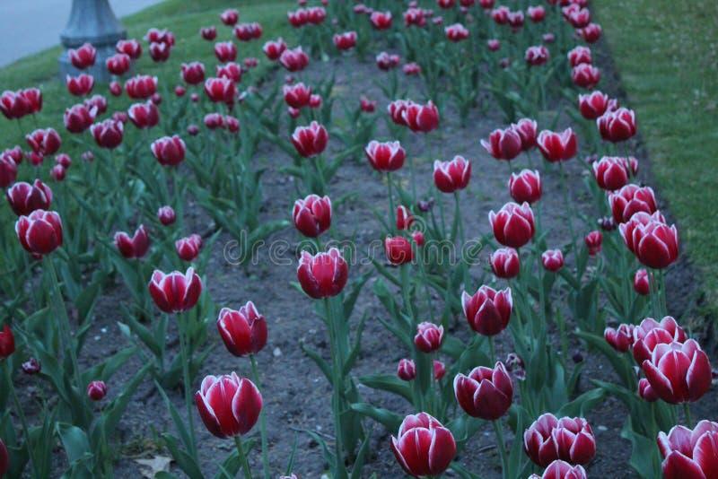 Tulip Rows foto de stock royalty free