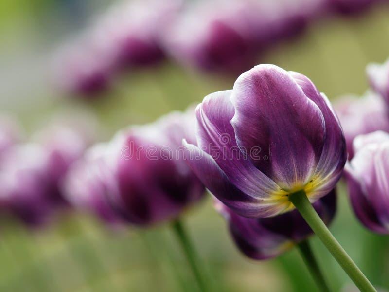 Tulip roxo bonito foto de stock