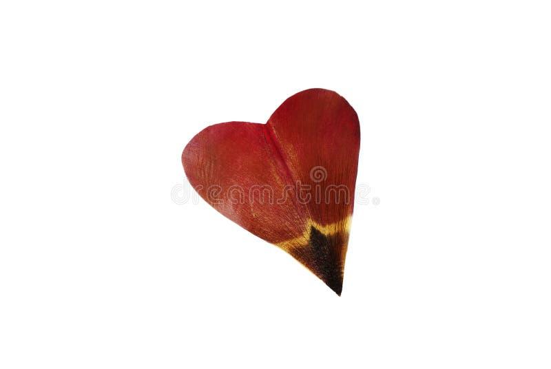 Tulip's petal as heart royalty free stock photo