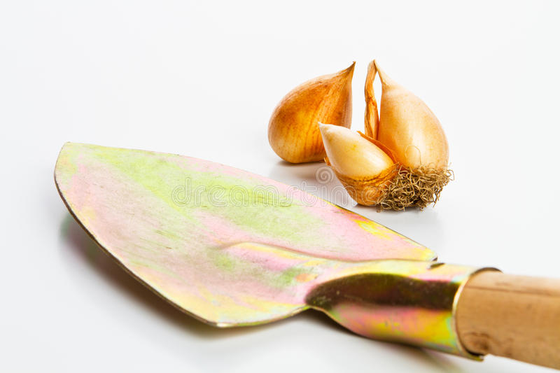 Tulip seeds for plant stock photos