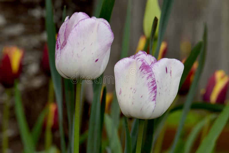 White with Purple Highlights Tulip Shirley. Tulip Shirley variety, white with purple highlights on floral blurry background royalty free stock photography