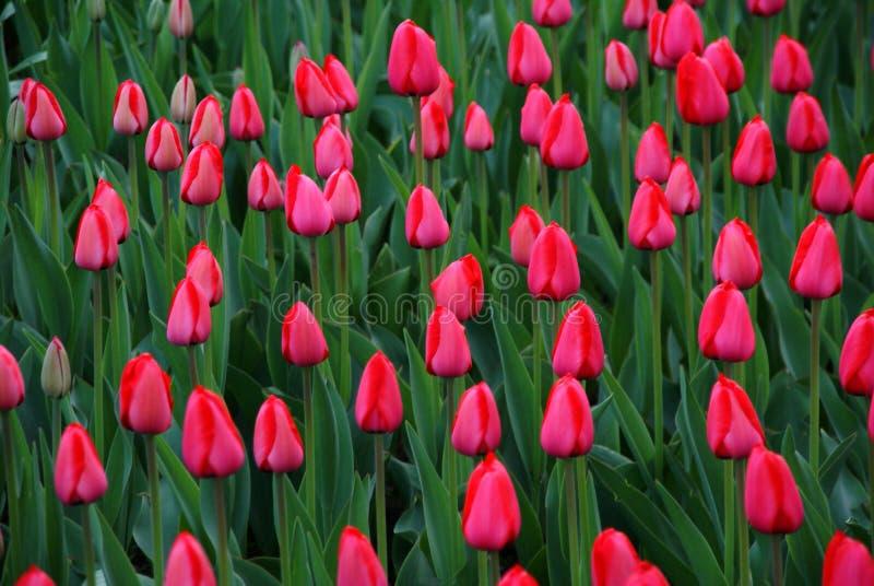 Tulip Show Stock Photos
