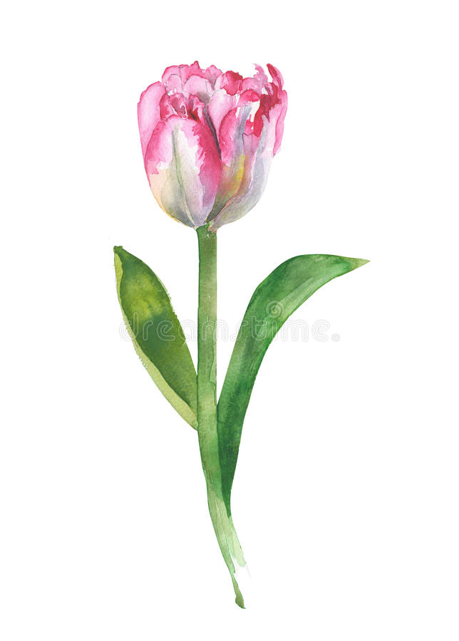 Download Tulip Single Flower Watercolor Illustration Greeting Card Isolated On White Background Stock