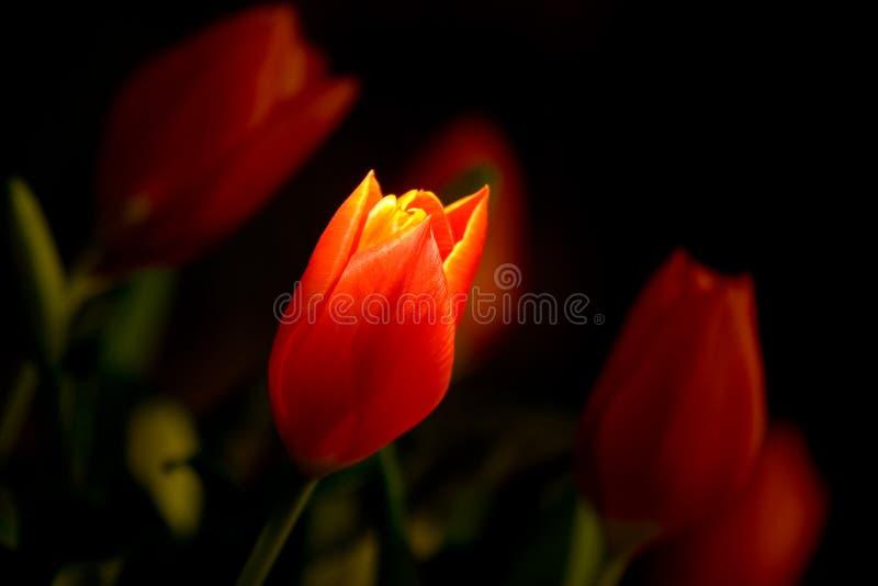 Tulip sob o projector fotografia de stock