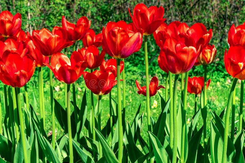 Tulip. Spring flowers background bunch of red colorful flowers stock photo