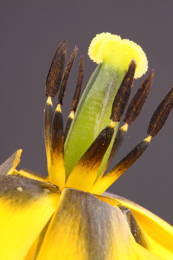 Tulip stamens. That show the pollen stock images