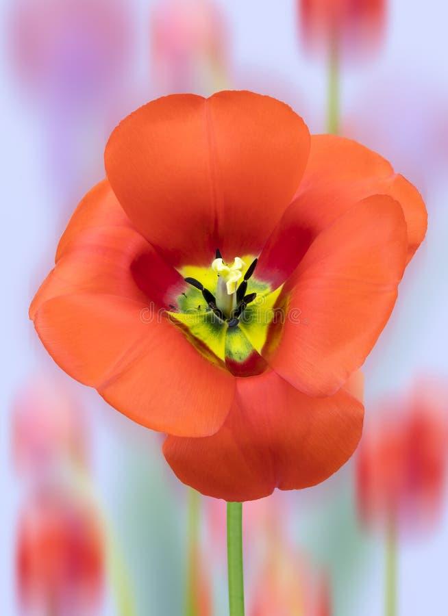 Tulip Stigma och Stamens royaltyfri bild