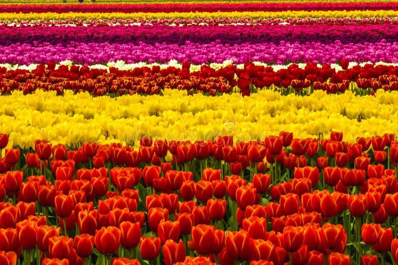 Tulip Tapestry stock foto