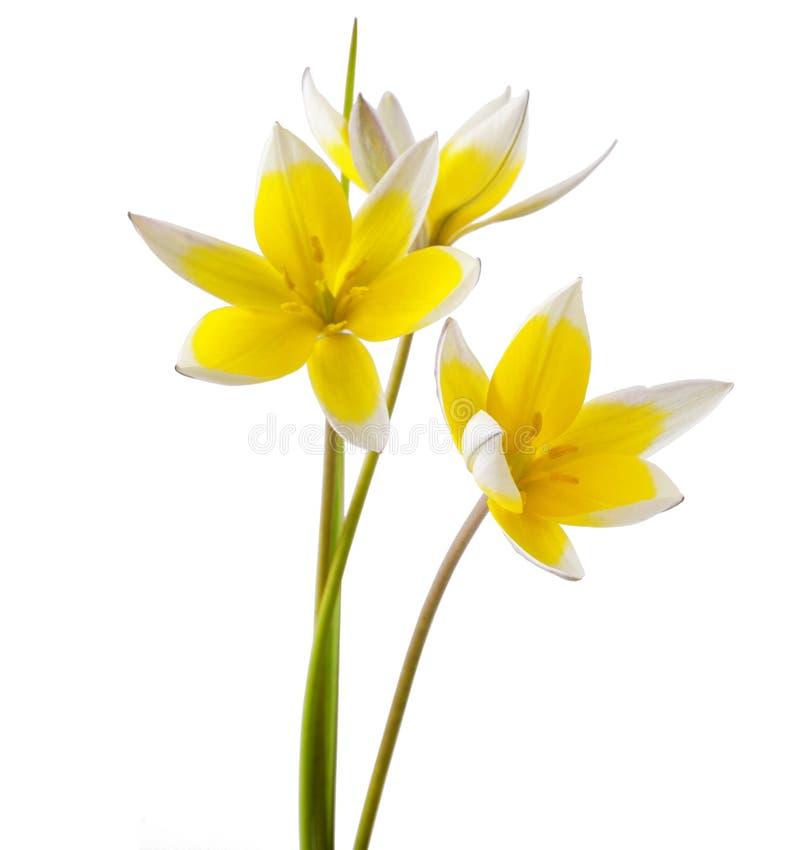 Tulip Tarda photos libres de droits