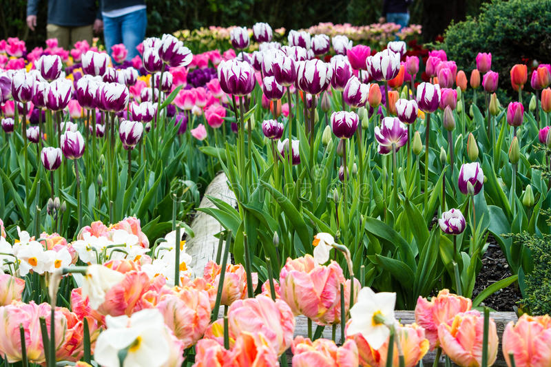 Tulip Time. It is tulip time in the Skagit Valley, Washington royalty free stock image