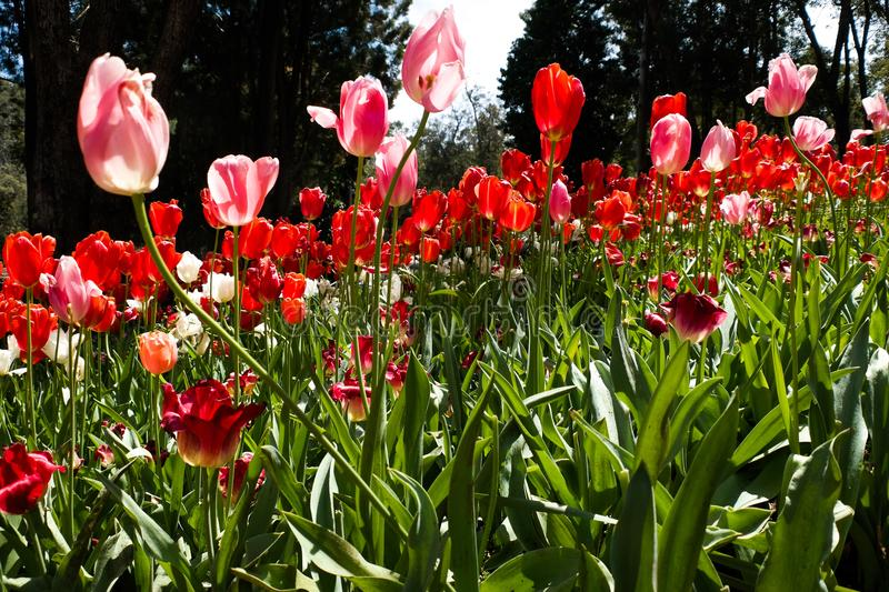 Tulip time royalty free stock photography