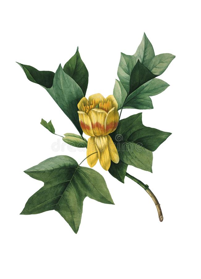 Free Tulip Tree Antique Flower Illustration Stock Photography - 105121482