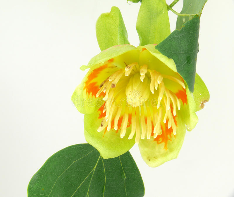 Tulip tree blossom stock images