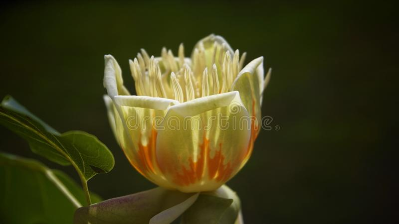 Tulip tree flower royalty free stock image