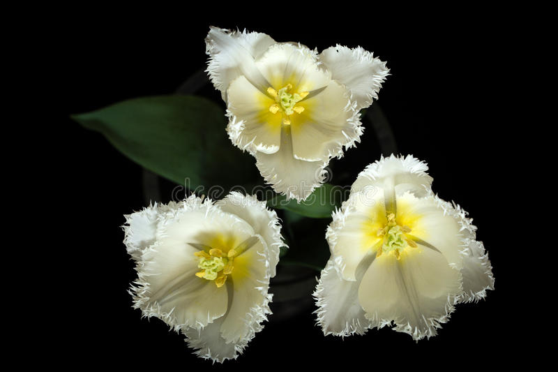 Tulip Trio stock photos
