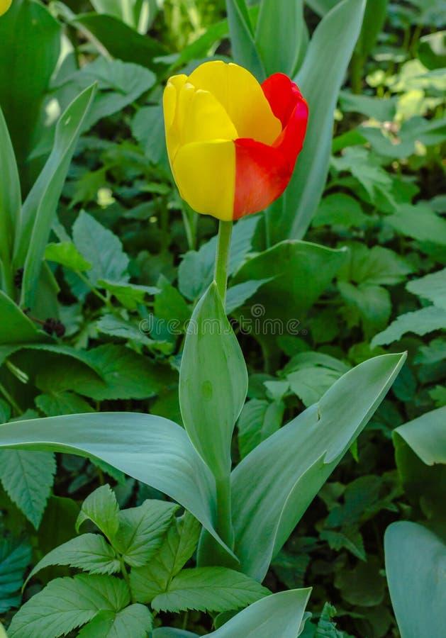Tulip unusual two-tone lone stock image