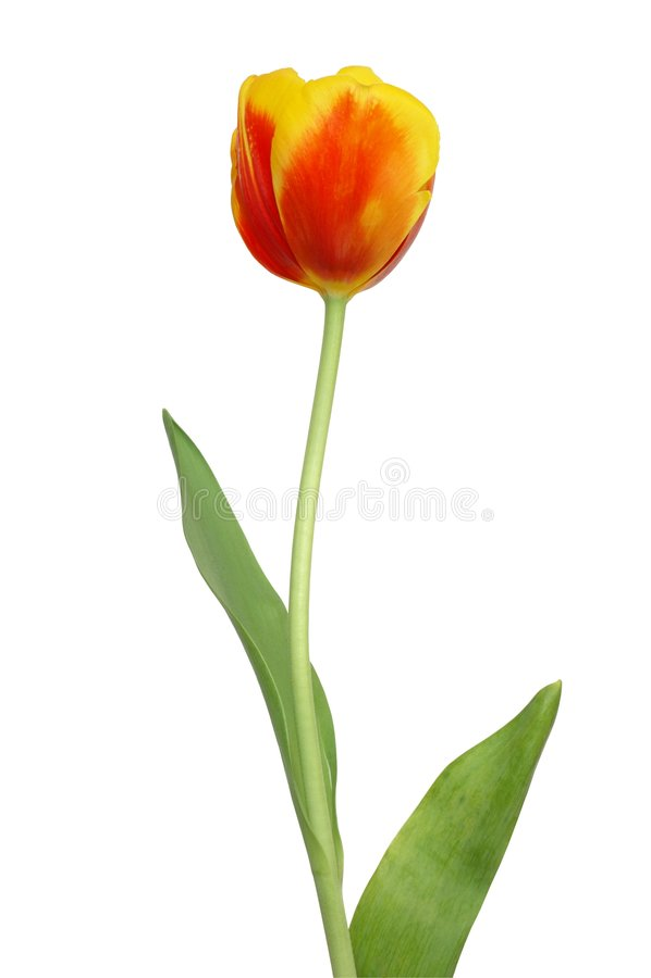 Tulip vermelho imagens de stock